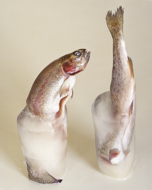 """Birthe Piontek Trouts 2013 8"""" x 10"""", archival pigment print Courtesy of the artist Edition of 50 $100"""